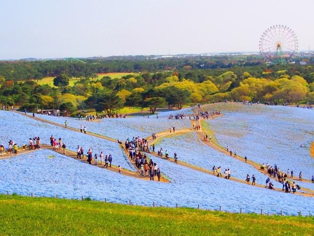 国営ひたち海浜公園ネモフィラ